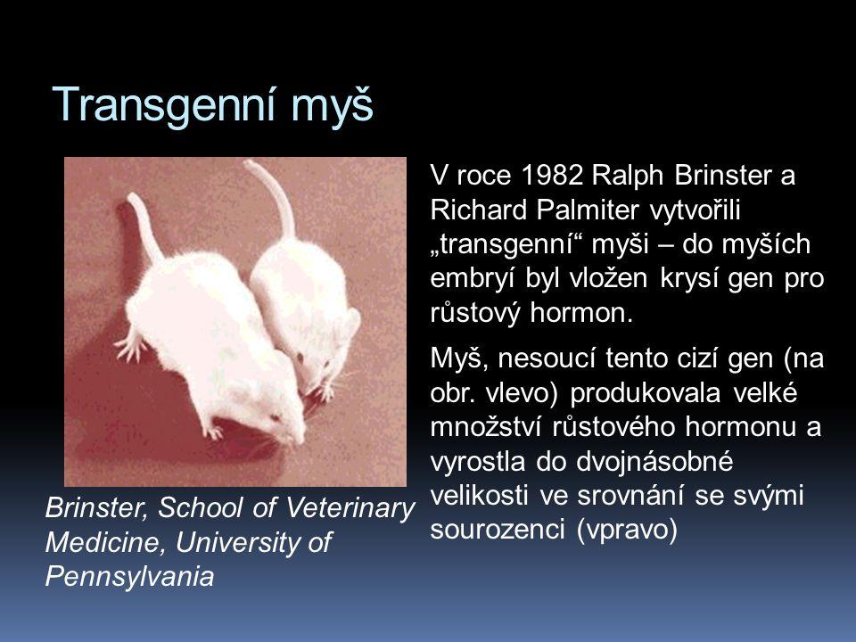 """Transgenní myš V roce 1982 Ralph Brinster a Richard Palmiter vytvořili """"transgenní"""" myši – do myších embryí byl vložen krysí gen pro růstový hormon. M"""