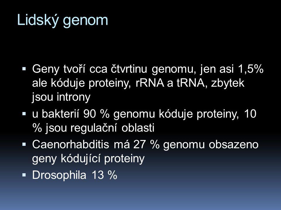 Lidský genom  Geny tvoří cca čtvrtinu genomu, jen asi 1,5% ale kóduje proteiny, rRNA a tRNA, zbytek jsou introny  u bakterií 90 % genomu kóduje prot