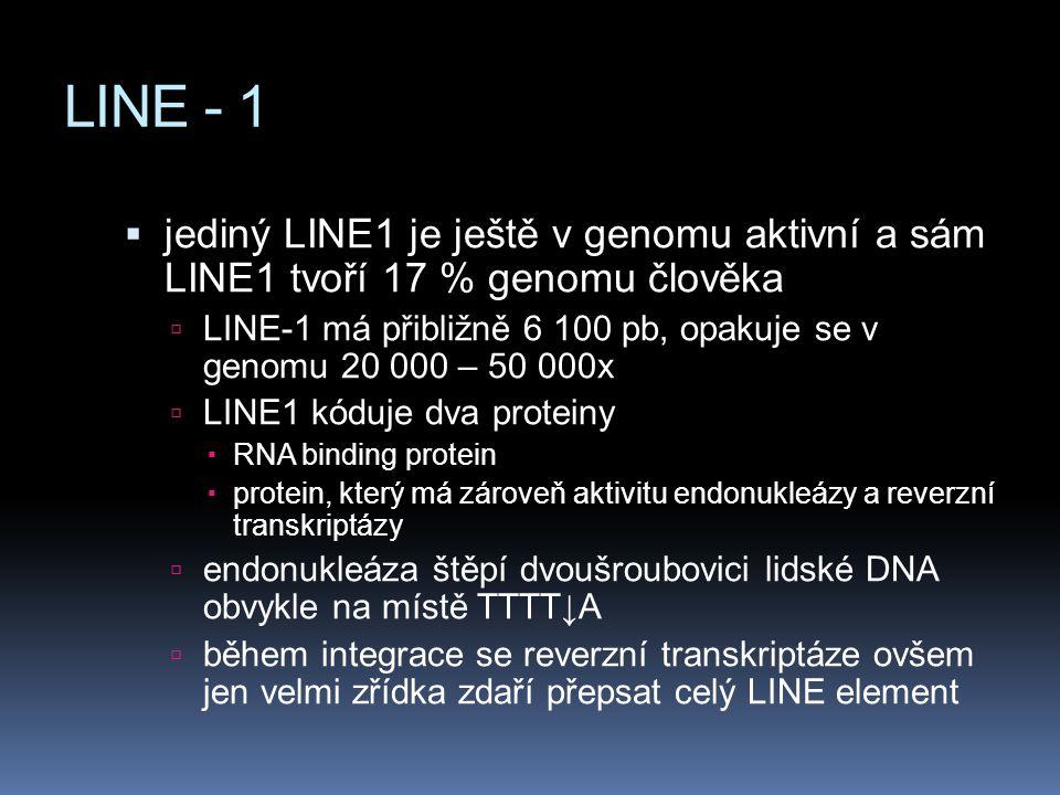 LINE - 1  jediný LINE1 je ještě v genomu aktivní a sám LINE1 tvoří 17 % genomu člověka  LINE-1 má přibližně 6 100 pb, opakuje se v genomu 20 000 – 5