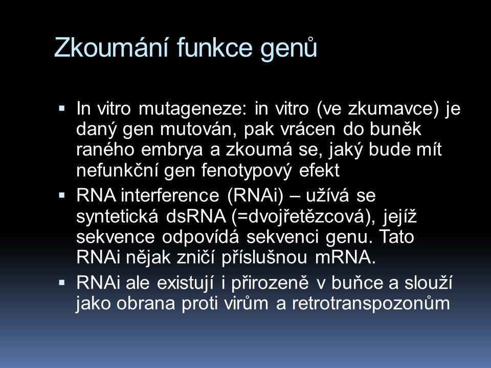 Zkoumání funkce genů  In vitro mutageneze: in vitro (ve zkumavce) je daný gen mutován, pak vrácen do buněk raného embrya a zkoumá se, jaký bude mít n
