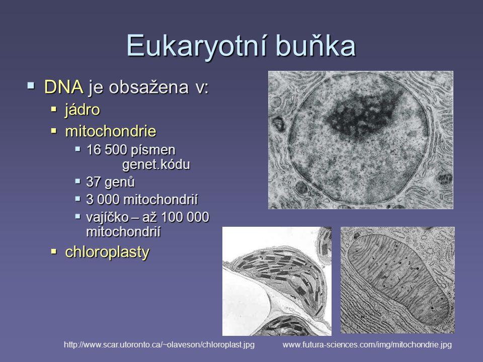 Eukaryotní buňka  DNA je obsažena v:  jádro  mitochondrie  16 500 písmen genet.kódu  37 genů  3 000 mitochondrií  vajíčko – až 100 000 mitochondrií  chloroplasty www.futura-sciences.com/img/mitochondrie.jpghttp://www.scar.utoronto.ca/~olaveson/chloroplast.jpg