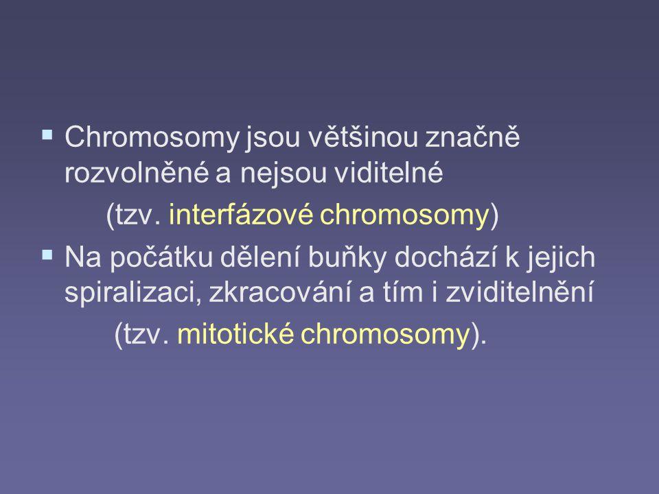   Chromosomy jsou většinou značně rozvolněné a nejsou viditelné (tzv. interfázové chromosomy)   Na počátku dělení buňky dochází k jejich spiraliza