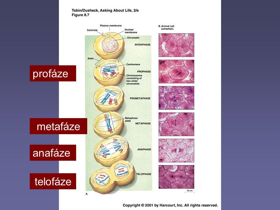 Meióza  Zajišťuje snížení diploidního počtu chromozomů na haploidní  Probíhá ve dvou na sebe navazujících dělících cyklech  1.