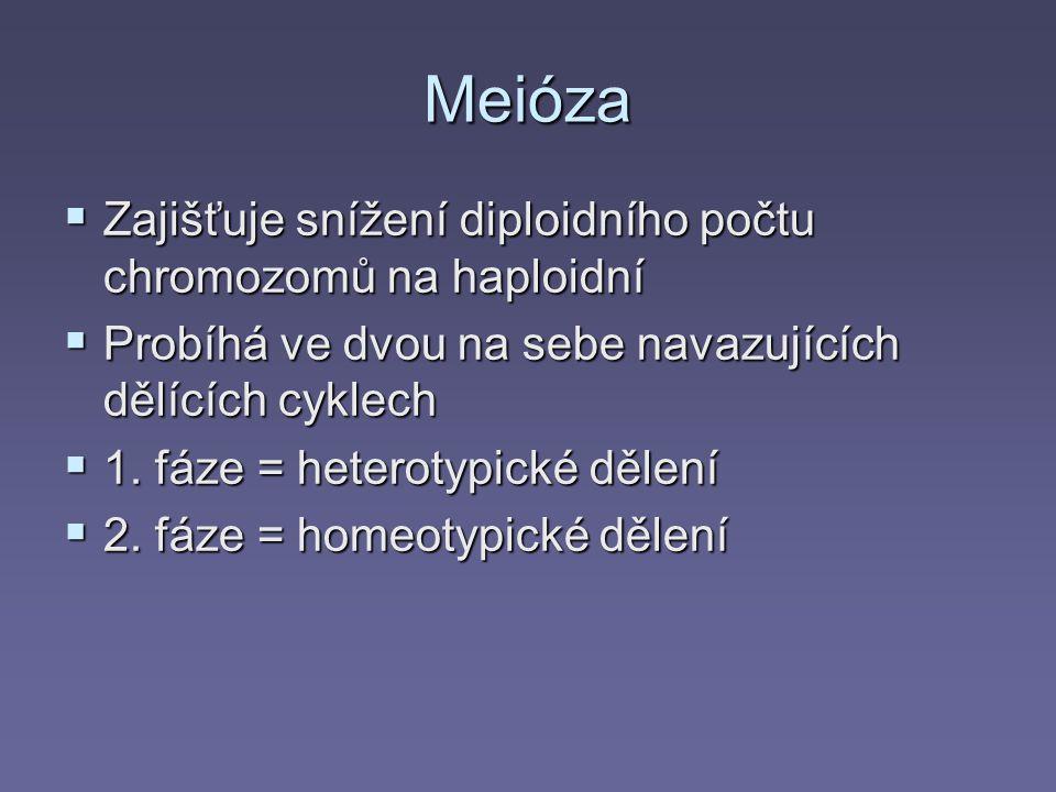 Meióza  Zajišťuje snížení diploidního počtu chromozomů na haploidní  Probíhá ve dvou na sebe navazujících dělících cyklech  1. fáze = heterotypické