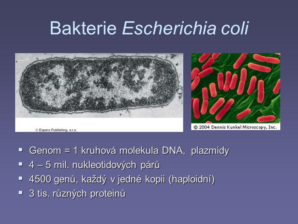 Bakterie Escherichia coli  Genom = 1 kruhová molekula DNA, plazmidy  4 – 5 mil. nukleotidových párů  4500 genů, každý v jedné kopii (haploidní)  3