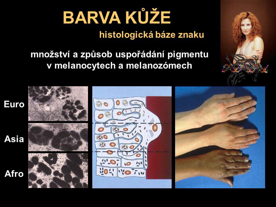 BARVA KŮŽE vlasy kůže histologická báze znaku Euro Asia Afro množství a způsob uspořádání pigmentu v melanocytech a melanozómech
