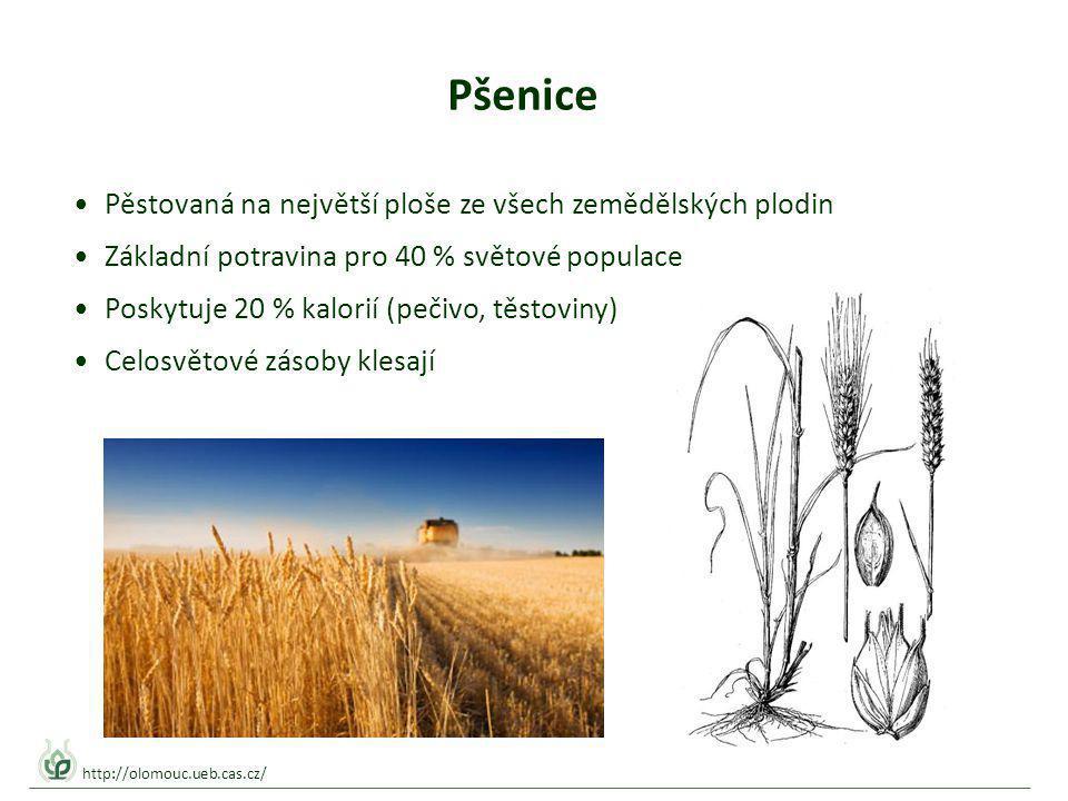 Pšenice Pěstovaná na největší ploše ze všech zemědělských plodin Základní potravina pro 40 % světové populace Poskytuje 20 % kalorií (pečivo, těstoviny) Celosvětové zásoby klesají http://olomouc.ueb.cas.cz/