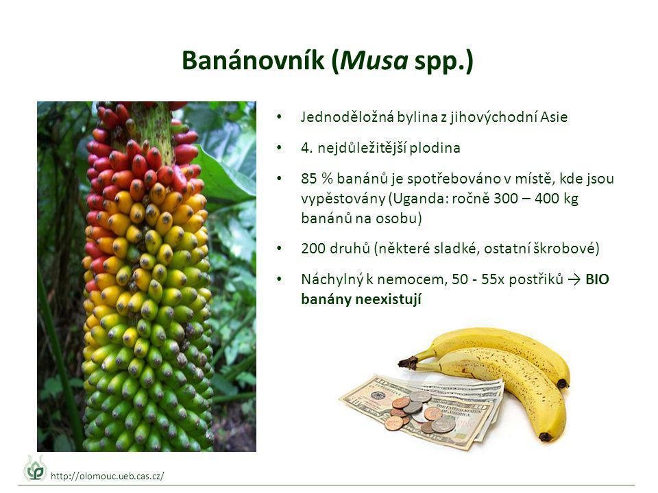 Banánovník (Musa spp.) Jednoděložná bylina z jihovýchodní Asie 4.
