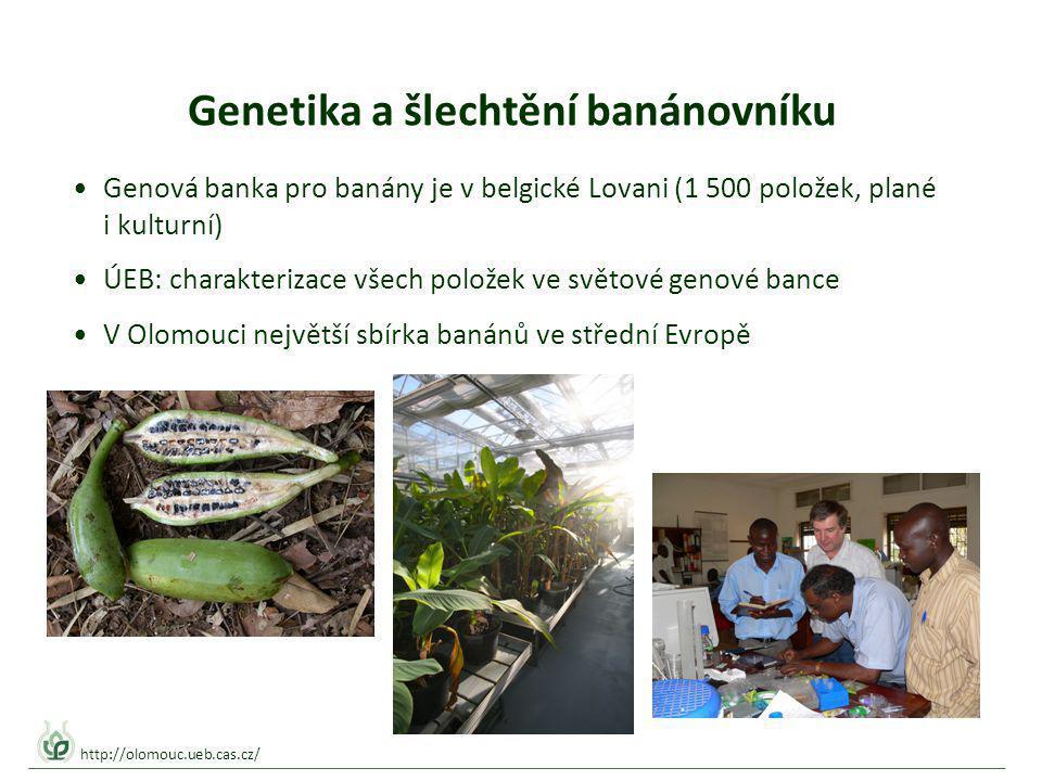 Genetika a šlechtění banánovníku Genová banka pro banány je v belgické Lovani (1 500 položek, plané i kulturní) ÚEB: charakterizace všech položek ve světové genové bance V Olomouci největší sbírka banánů ve střední Evropě http://olomouc.ueb.cas.cz/