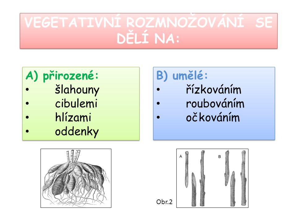 A) přirozené: šlahouny cibulemi hlízami oddenky A) přirozené: šlahouny cibulemi hlízami oddenky VEGETATIVNÍ ROZMNOŽOVÁNÍ SE DĚLÍ NA: B) umělé: řízková