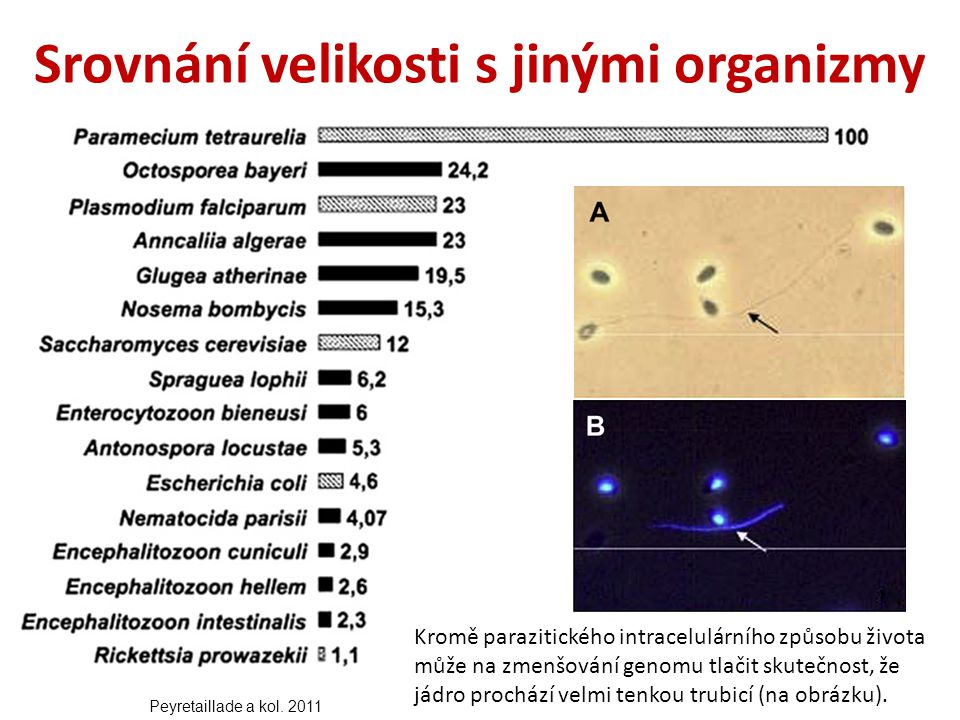 Srovnání velikosti s jinými organizmy Kromě parazitického intracelulárního způsobu života může na zmenšování genomu tlačit skutečnost, že jádro prochází velmi tenkou trubicí (na obrázku).