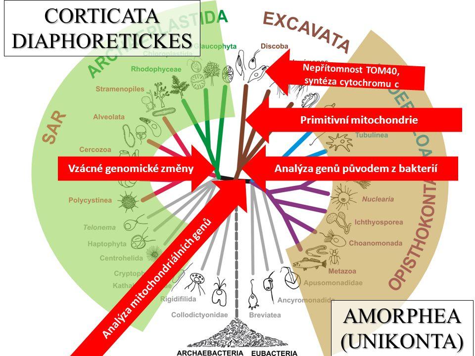 AMORPHEA(UNIKONTA) CORTICATADIAPHORETICKES Analýza mitochondriálních genů Nepřítomnost TOM40, syntéza cytochromu c Primitivní mitochondrie Vzácné genomické změnyAnalýza genů původem z bakterií