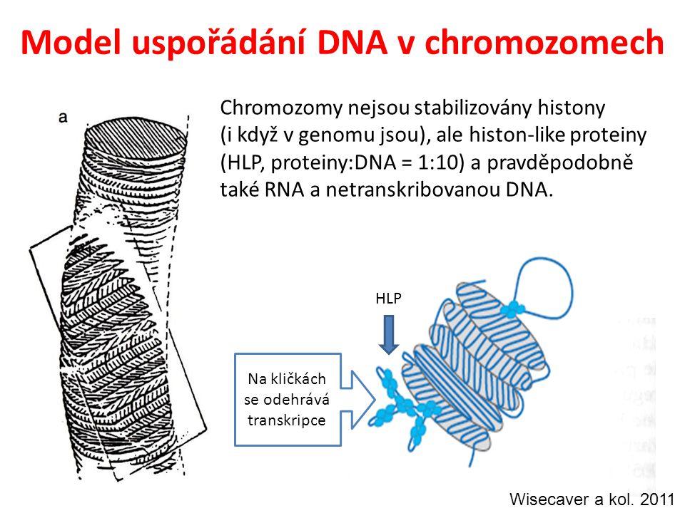 Model uspořádání DNA v chromozomech Chromozomy nejsou stabilizovány histony (i když v genomu jsou), ale histon-like proteiny (HLP, proteiny:DNA = 1:10) a pravděpodobně také RNA a netranskribovanou DNA.