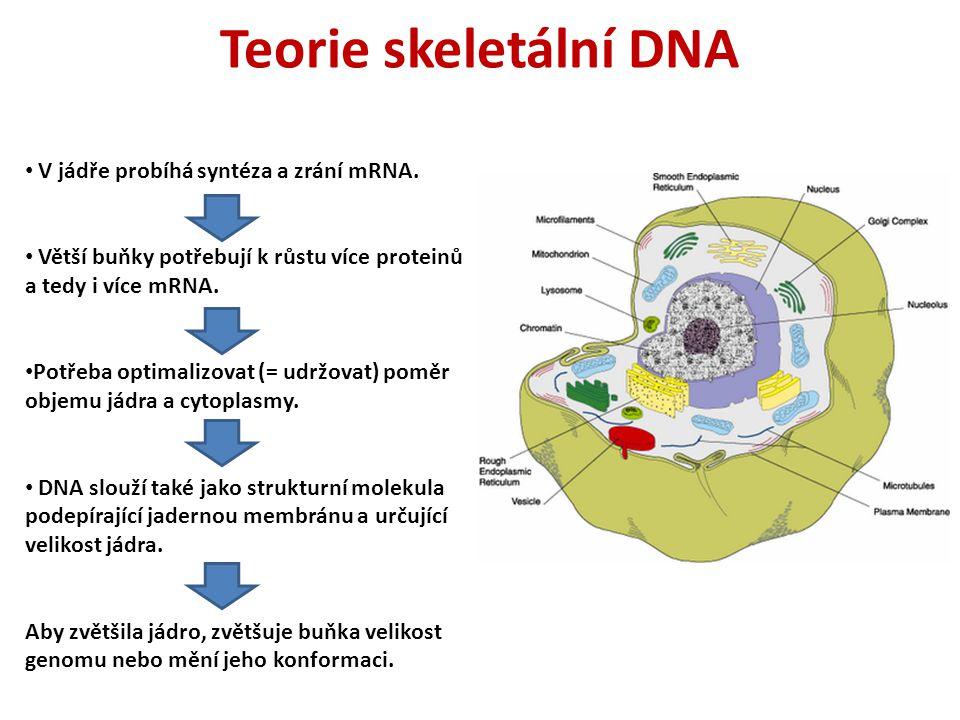 Teorie skeletální DNA V jádře probíhá syntéza a zrání mRNA. Větší buňky potřebují k růstu více proteinů a tedy i více mRNA. Potřeba optimalizovat (= u