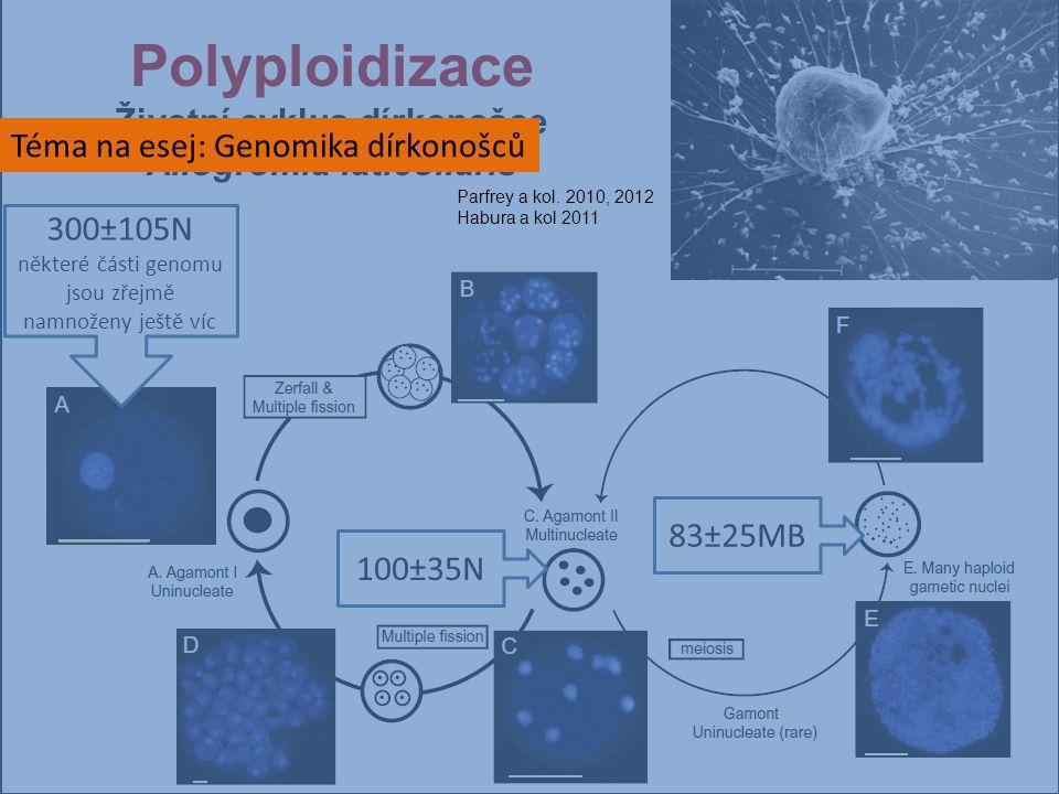 Polyploidizace Životní cyklus dírkonošce Allogromia laticollaris 300±105N některé části genomu jsou zřejmě namnoženy ještě víc 100±35N 83±25MB Téma na