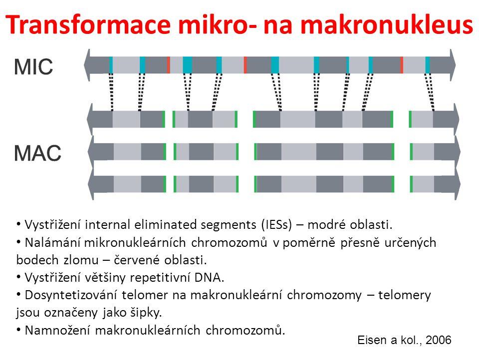Transformace mikro- na makronukleus Vystřižení internal eliminated segments (IESs) – modré oblasti. Nalámání mikronukleárních chromozomů v poměrně pře