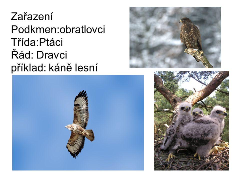 Zařazení Podkmen:obratlovci Třída:Ptáci Řád: Dravci příklad: káně lesní