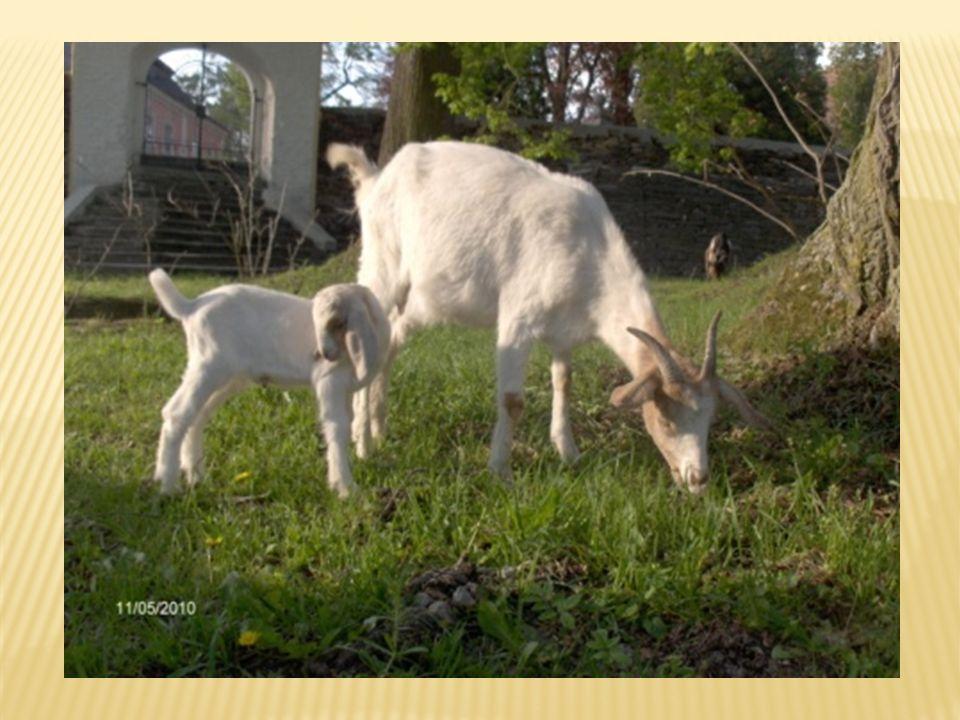 Po celém světě existuje více než 176 plemen koz. Patří k nejstarším domestikovaným zvířatům. Je potřeba se o ní dobře starat. Zajistit chlívek, slámu