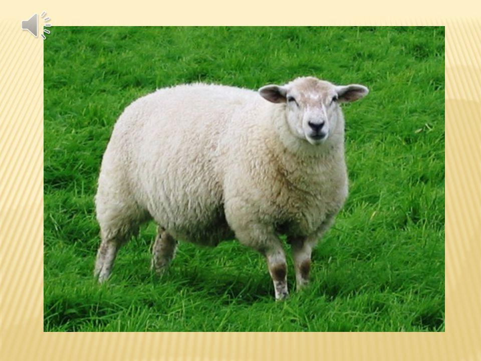 Ovce je přežvýkavec, chovaný hlavně pro vlnu, maso a mléko. Nejsou náročné na potravu jako skot, proto se chovají i v horských nebo suchých oblastech.
