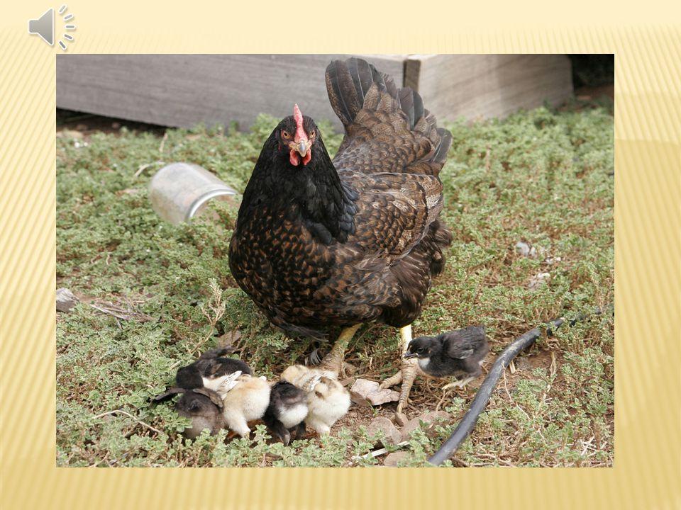 Často označován prostě jako slepice. Chová se hlavně kvůli kuřecímu masu a pro vejce. Slepice je všežravec, živí se zrním, zeleným krmením ( tráva, bo