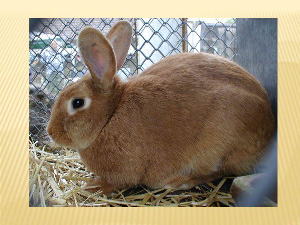 Králík byl vyšlechtěn z formy evropského králíka divokého. Pěstuje se pro velmi chutné maso a kožešinu. Zakrslá plemena jsou oblíbenými domácími mazlí