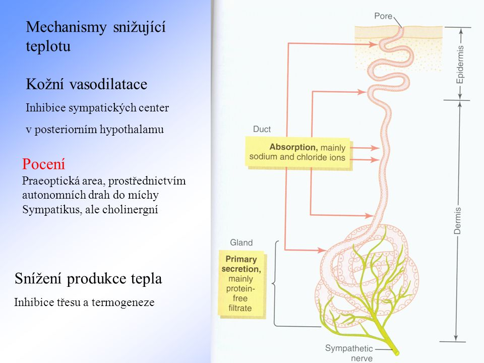 Mechanismy snižující teplotu Kožní vasodilatace Inhibice sympatických center v posteriorním hypothalamu Pocení Praeoptická area, prostřednictvím auton