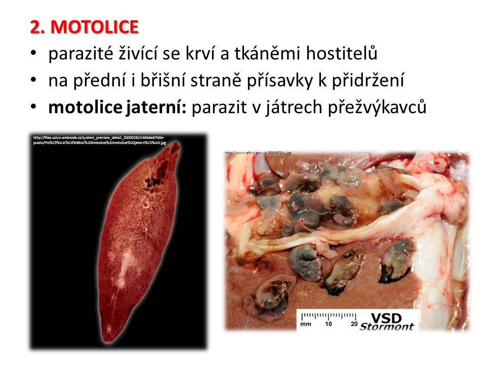 2. MOTOLICE parazité živící se krví a tkáněmi hostitelů na přední i břišní straně přísavky k přidržení motolice jaterní: parazit v játrech přežvýkavců