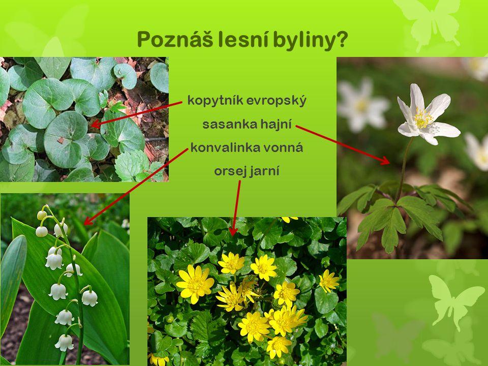 Poznáš lesní byliny? kopytník evropský sasanka hajní konvalinka vonná orsej jarní