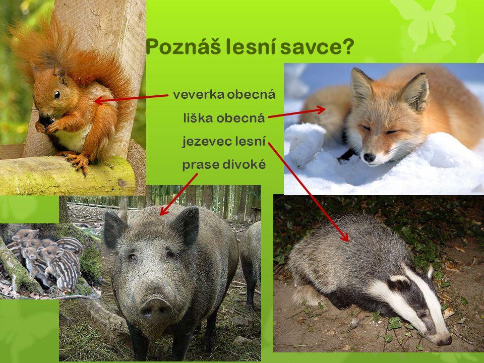 Poznáš lesní savce? veverka obecná liška obecná jezevec lesní prase divoké