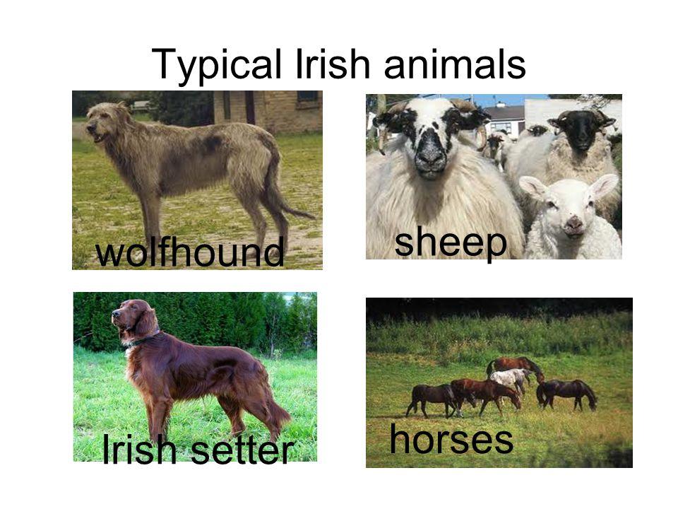 Typical Irish animals platypus kangaroo koala wolfhound sheep Irish setter horses