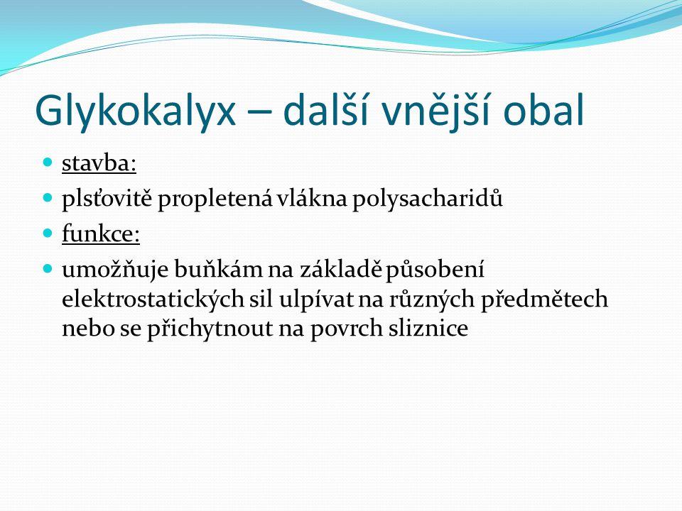 Glykokalyx – další vnější obal stavba: plsťovitě propletená vlákna polysacharidů funkce: umožňuje buňkám na základě působení elektrostatických sil ulp