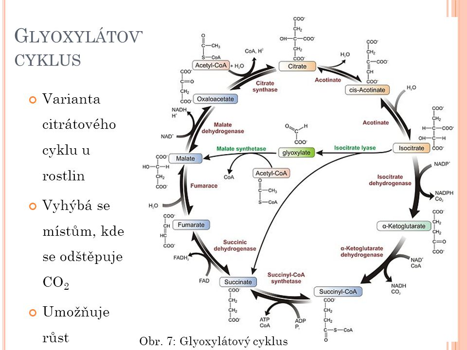 G LYOXYLÁTOVÝ CYKLUS Varianta citrátového cyklu u rostlin Vyhýbá se místům, kde se odštěpuje CO 2 Umožňuje růst Obr. 7: Glyoxylátový cyklus