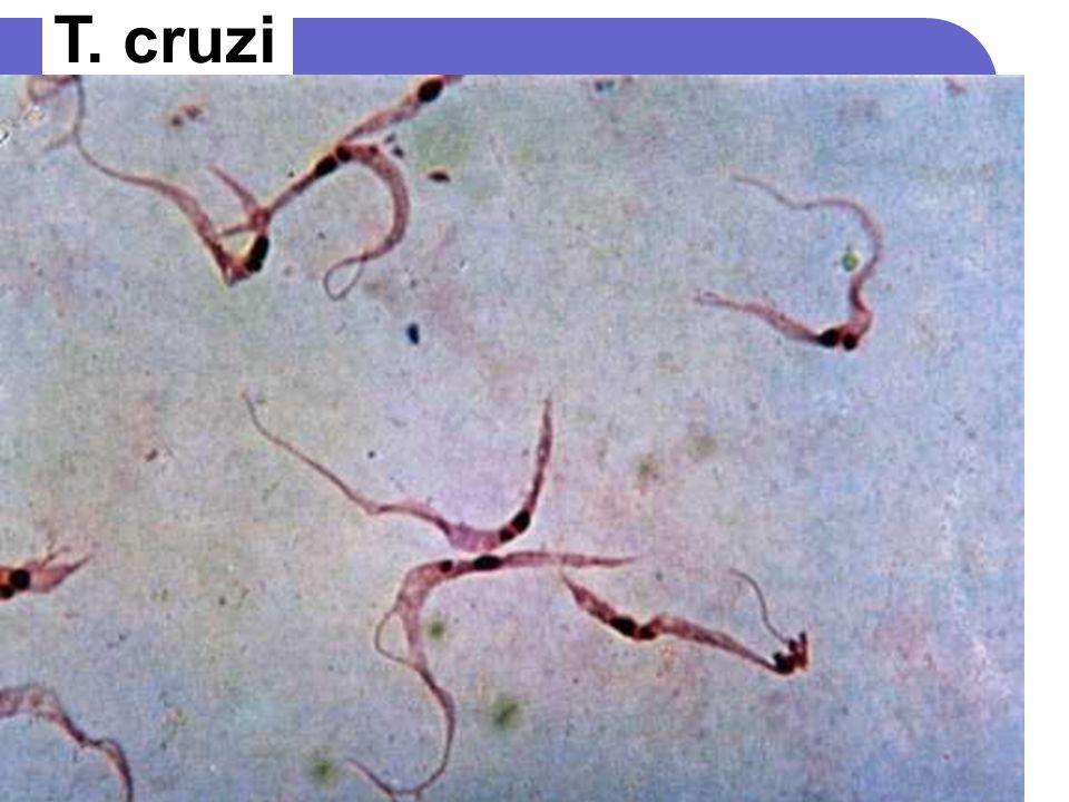 T. cruzi