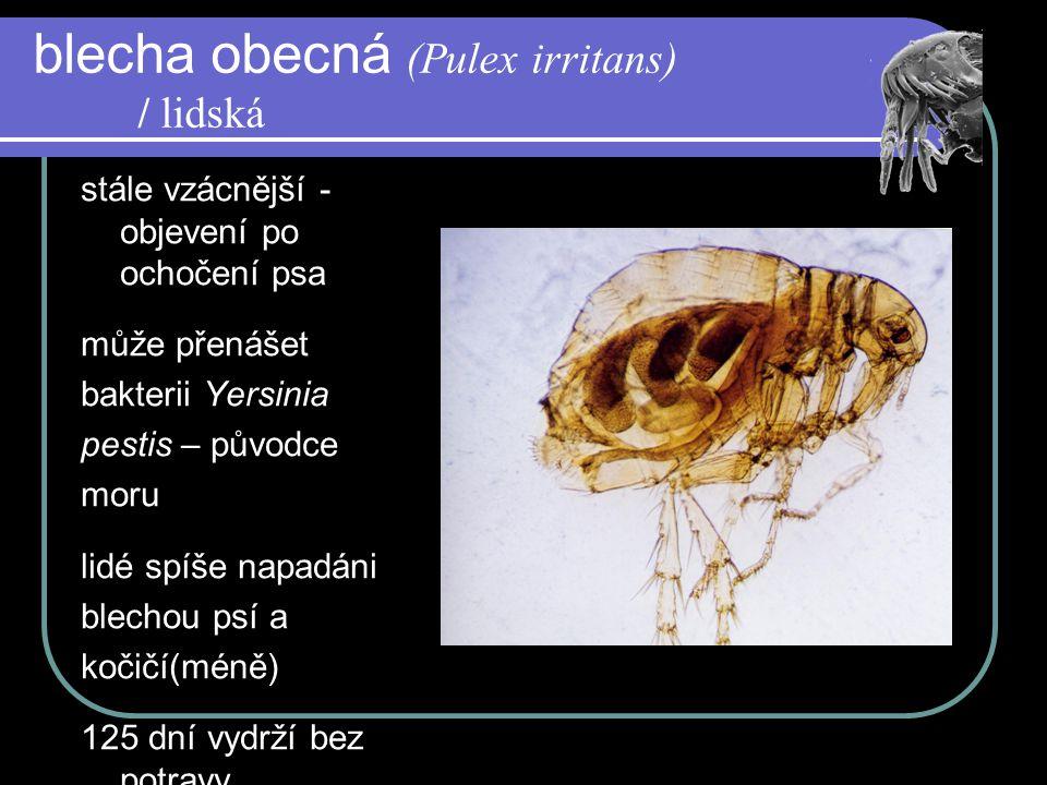 blecha obecná (Pulex irritans) / lidská stále vzácnější - objevení po ochočení psa může přenášet bakterii Yersinia pestis – původce moru lidé spíše napadáni blechou psí a kočičí(méně) 125 dní vydrží bez potravy