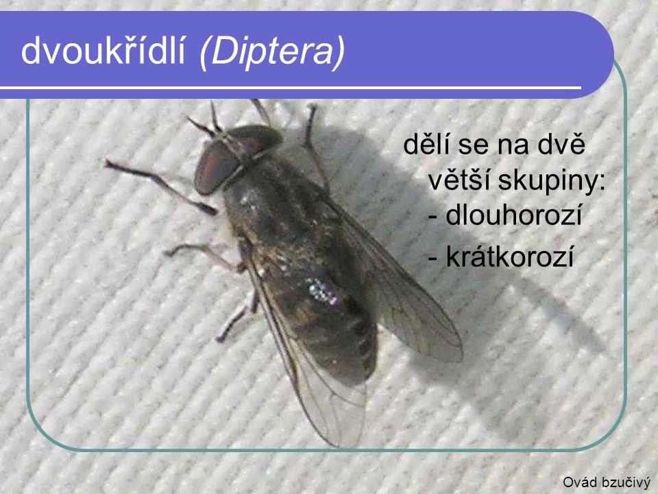 dvoukřídlí (Diptera) dělí se na dvě větší skupiny: - dlouhorozí - krátkorozí Ovád bzučivý