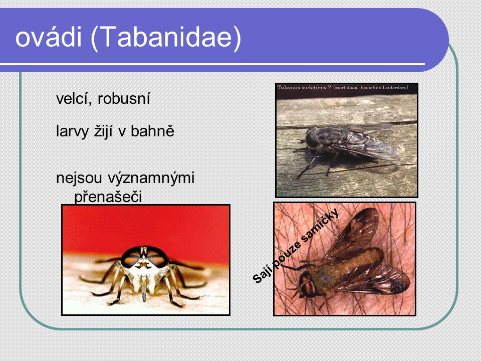 ovádi (Tabanidae) velcí, robusní larvy žijí v bahně nejsou významnými přenašeči Sají pouze samičky