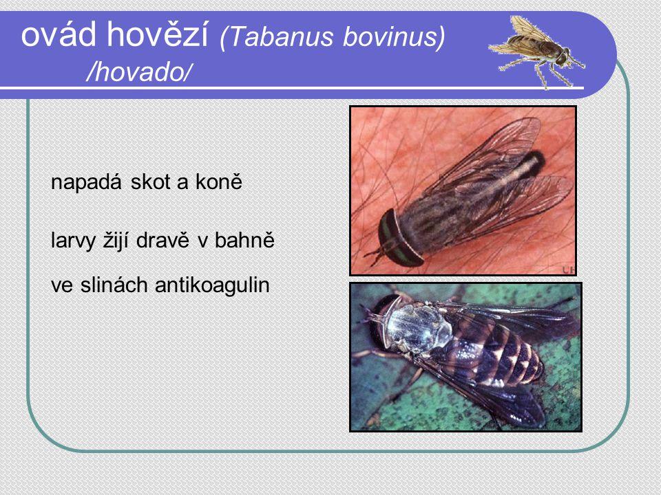 ovád hovězí (Tabanus bovinus) /hovado / napadá skot a koně larvy žijí dravě v bahně ve slinách antikoagulin