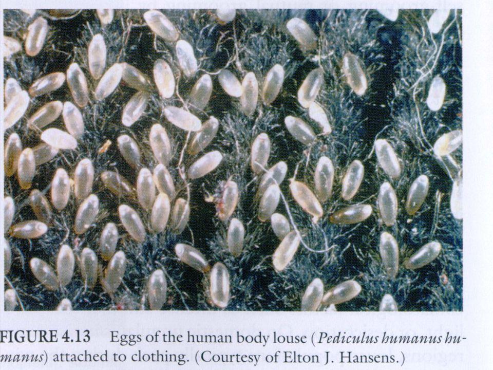 Anophelinae Culicinae Culicidae