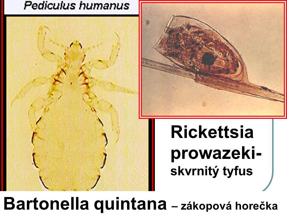 Rickettsia prowazeki- skvrnitý tyfus Bartonella quintana – zákopová horečka