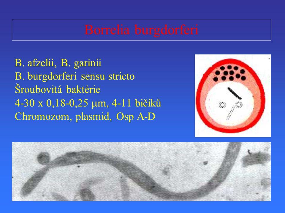 Borrelia burgdorferi B. afzelii, B. garinii B. burgdorferi sensu stricto Šroubovitá baktérie 4-30 x 0,18-0,25  m, 4-11 bičíků Chromozom, plasmid, Osp