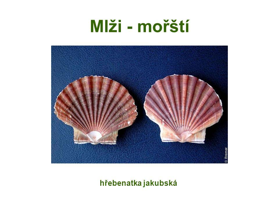 Mlži - mořští hřebenatka jakubská