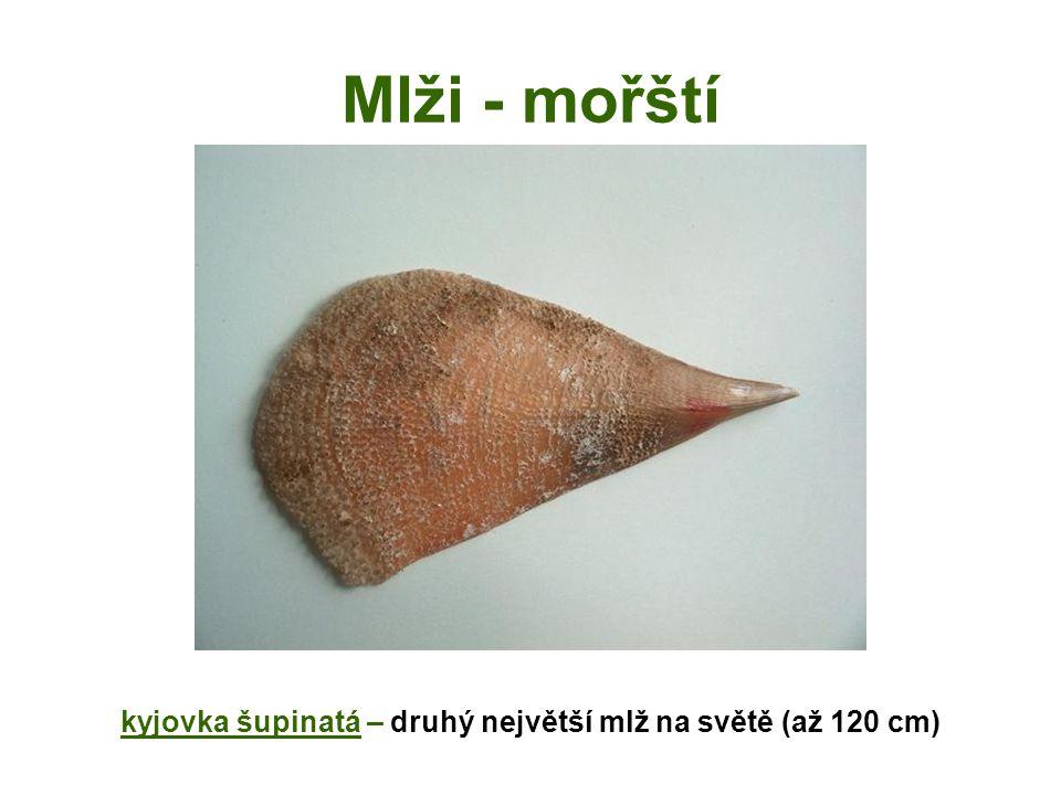 Mlži - mořští kyjovka šupinatá – druhý největší mlž na světě (až 120 cm)