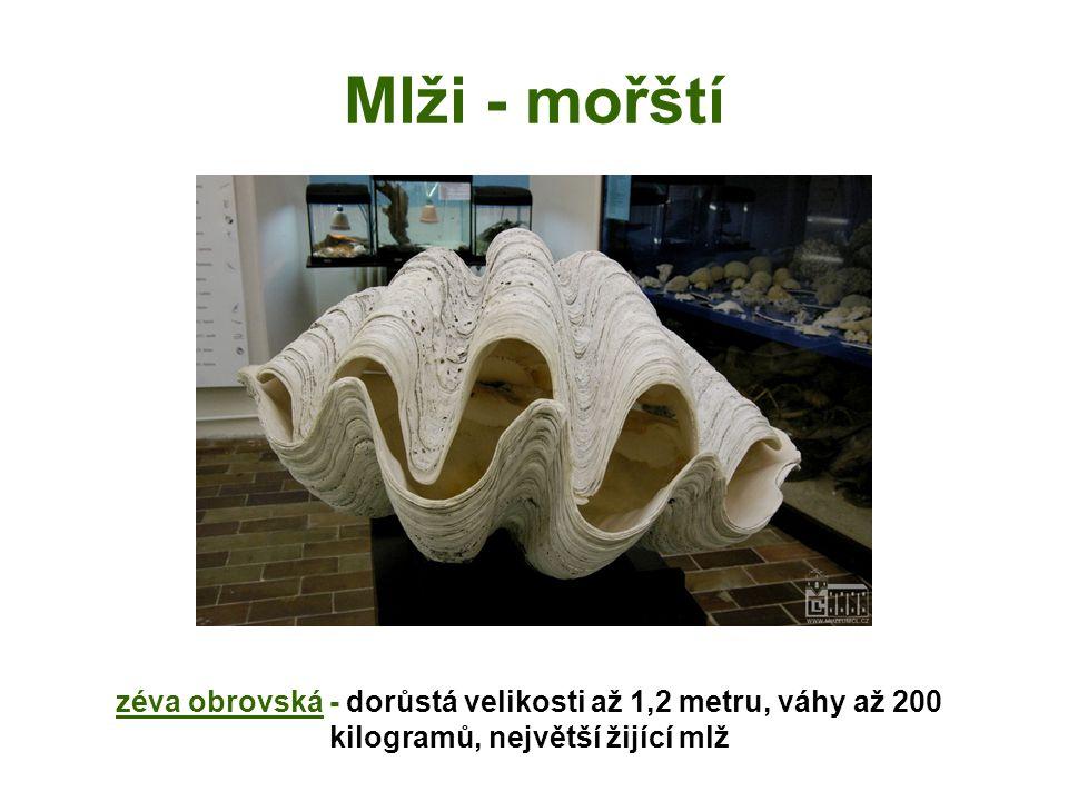 Mlži - mořští zéva obrovská - dorůstá velikosti až 1,2 metru, váhy až 200 kilogramů, největší žijící mlž