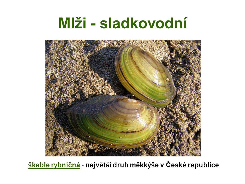 Mlži - sladkovodní škeble rybničná - největší druh měkkýše v České republice