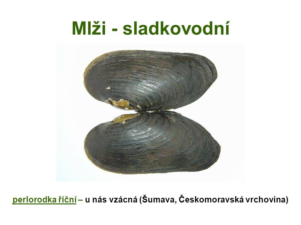 Mlži - mořští ústřice jedlá - hojně chována pro gastronomii