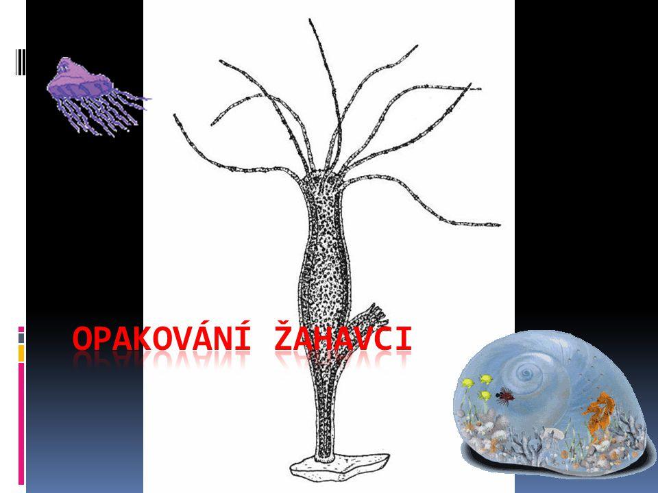  Koráli - netvoří vápenaté kostry  Sasanky - žijí přisedle v koloniích  Medúzy - tělo má tvar zvonu - volně plovoucí - tvoří vápenaté kostry - žijí přisedle, netvoří kolonie