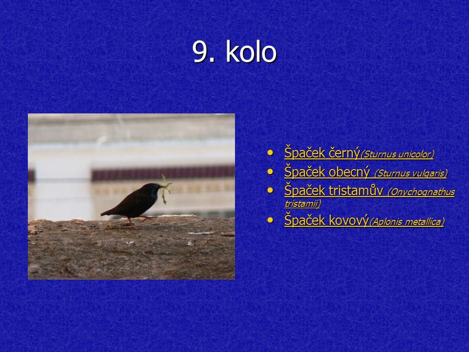 9. kolo Špaček černý (Sturnus unicolor) Špaček černý (Sturnus unicolor) Špaček černý (Sturnus unicolor) Špaček černý (Sturnus unicolor) Špaček obecný