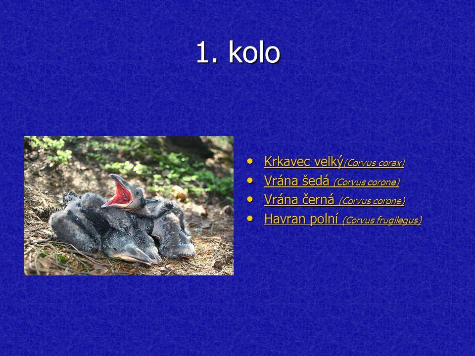1. kolo Krkavec velký (Corvus corax) Krkavec velký (Corvus corax) Krkavec velký (Corvus corax) Krkavec velký (Corvus corax) Vrána šedá (Corvus corone)