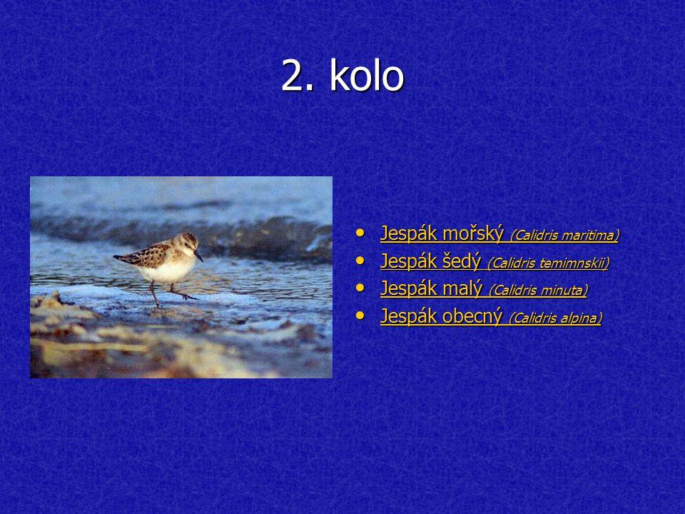 2. kolo Jespák mořský (Calidris maritima) Jespák mořský (Calidris maritima) Jespák mořský (Calidris maritima) Jespák mořský (Calidris maritima) Jespák
