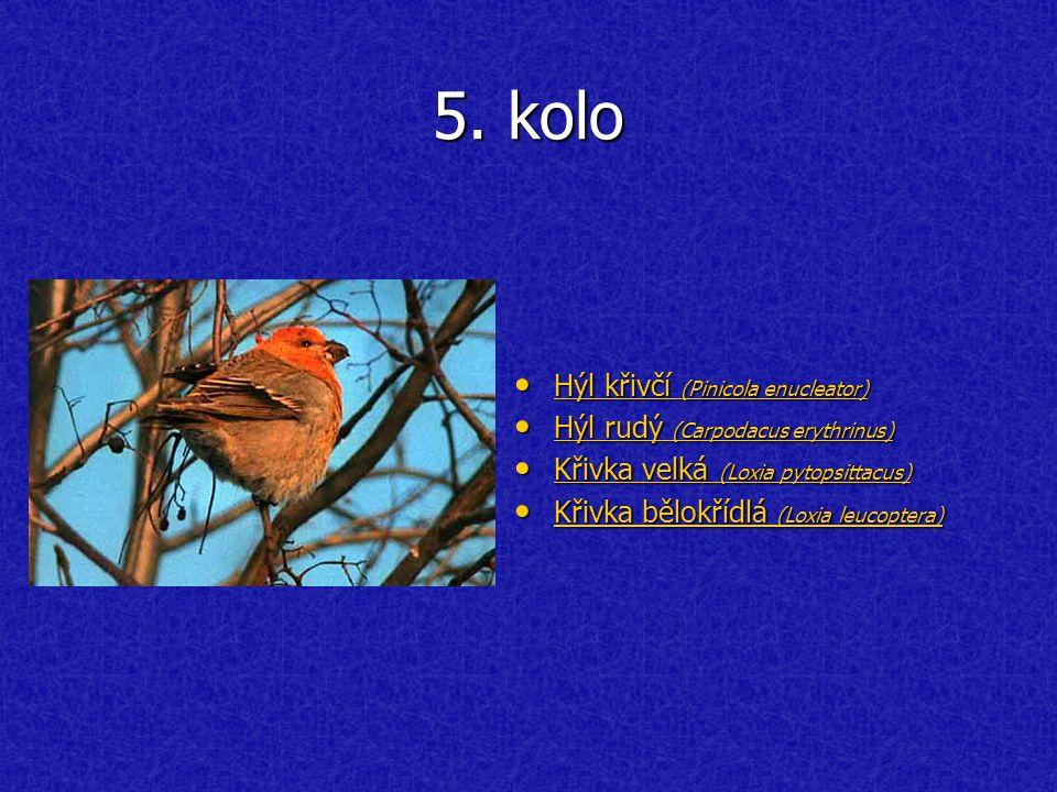 5. kolo Hýl křivčí (Pinicola enucleator) Hýl křivčí (Pinicola enucleator) Hýl křivčí (Pinicola enucleator) Hýl křivčí (Pinicola enucleator) Hýl rudý (